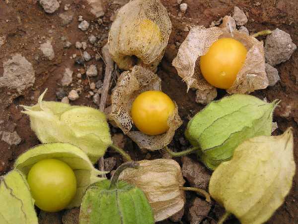 Warna buah ciplukan ketika sudah matang cemplukan kuning
